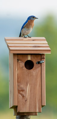 Bluebird on Dedicated Box