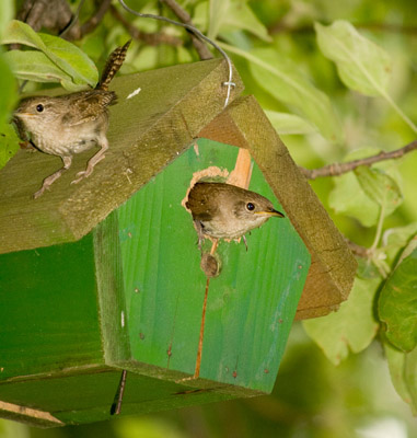 House Wrens with Dedicated Nest Box