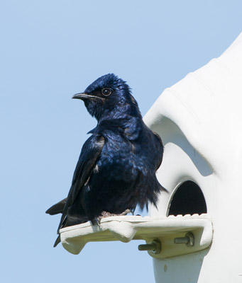 Purple Martin at Crescent Entrance