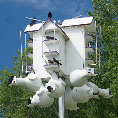 Choosing Purple Martin Housing
