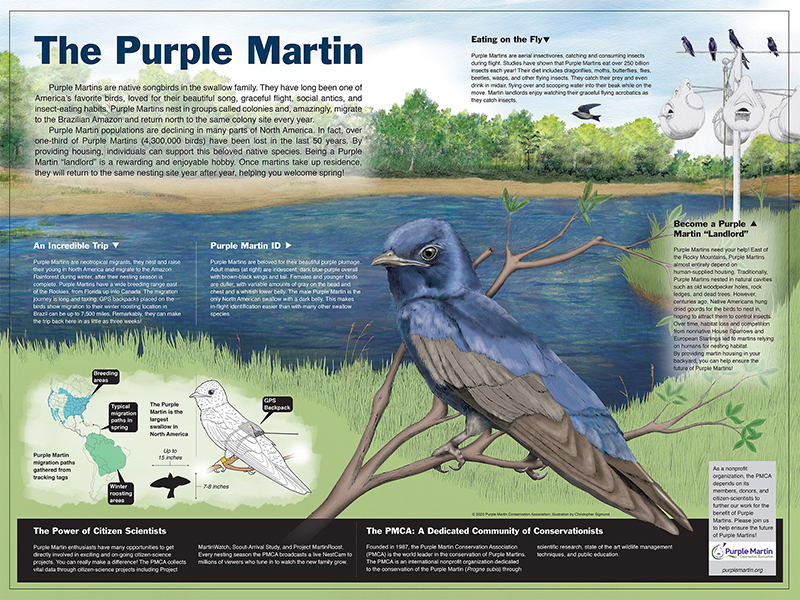 Purple Martin Educational Poster