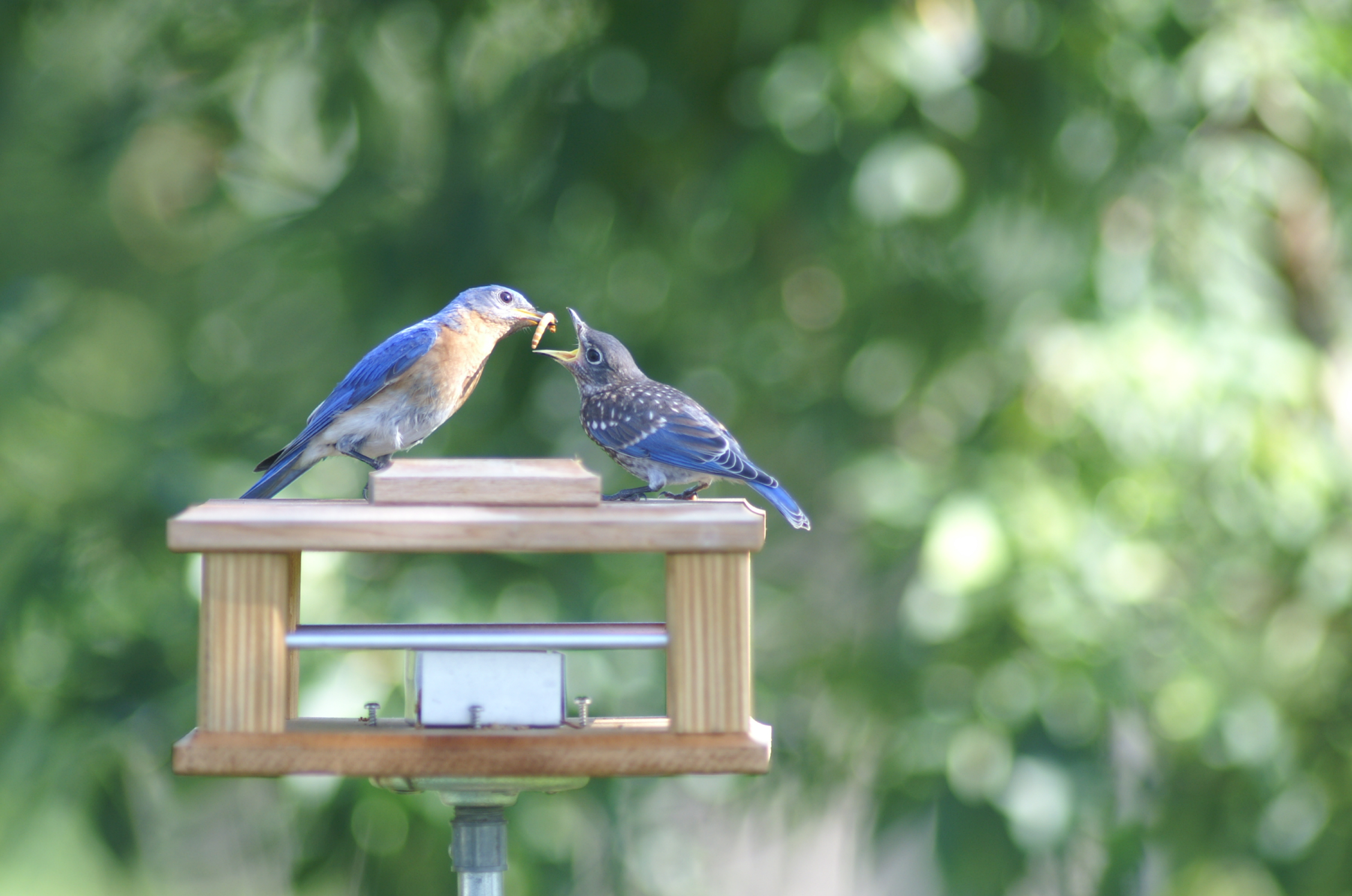 round of the feeder feed feeders wood ages styles popular thru year incredible and blue bird bluebird