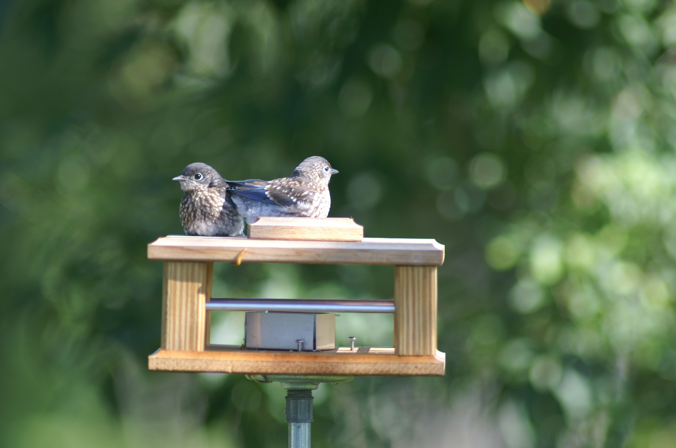 for s all jays feeders bird in blue chatterer the a diemer feeder garden kathy by at