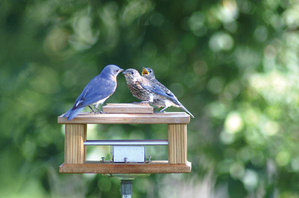 Feeder - Gilbertson Bluebird Feeder